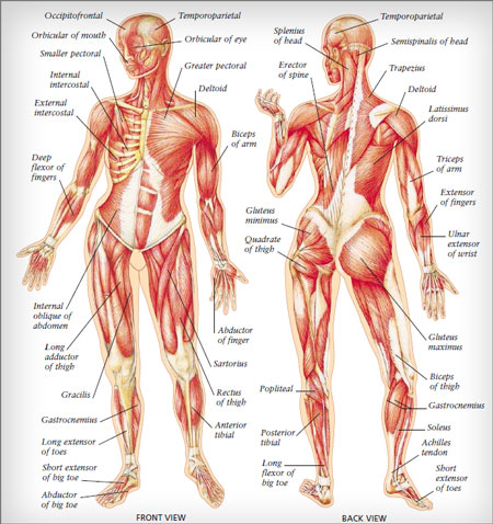 muscles chart - southwest institute of healing arts | accredited,